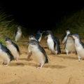 Phillip Island: More than Penguins