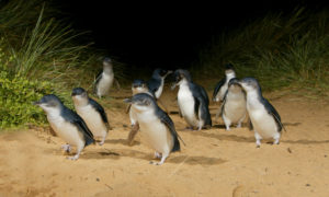 Phillip Island: More than Penguins
